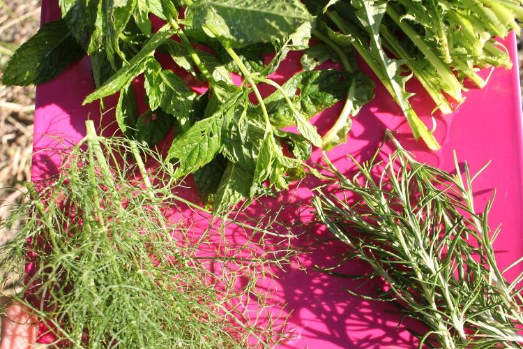 De la menthe, des feuilles de pissenlit, du fenouil et du romarin.