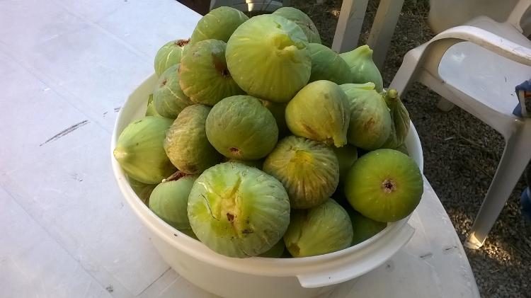 Des kilos et des kilos de figues  dans mon jardin.